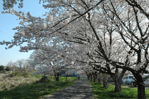 越辺川遊歩道(さくら)