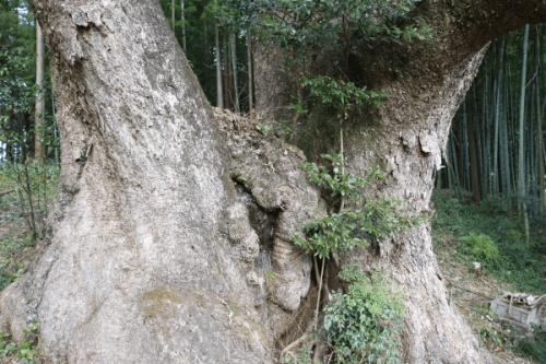 上谷の大クス 幹