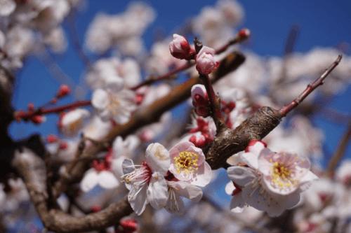 【圧縮】梅の花